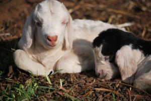 Salty Goat Babies